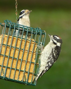 Pair of Downy Woodpeckers